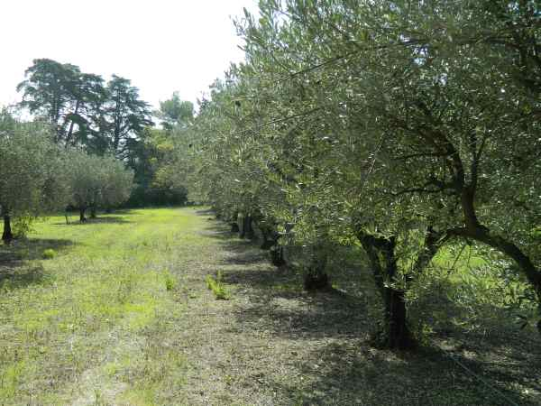 Campus orchards of dry farmed olives and walnuts.
