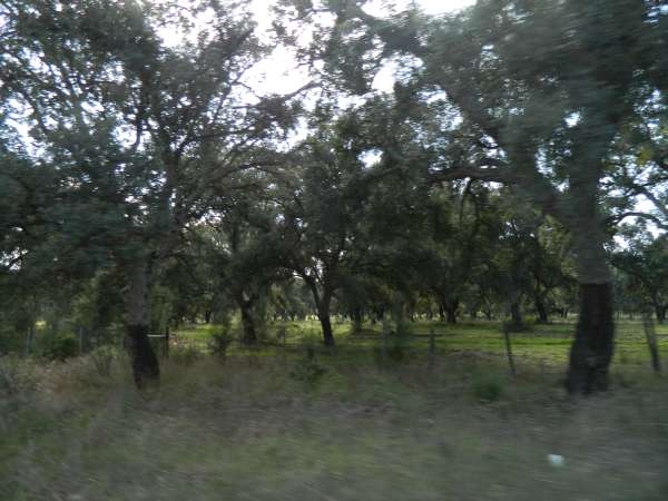 Cork oak orchards in the Portugal countryside.