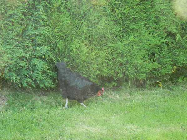 No free range chickens yet , but did have a free roaming chicken in camp last night.