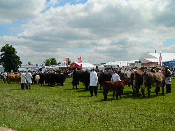 Native breeds cattle show.