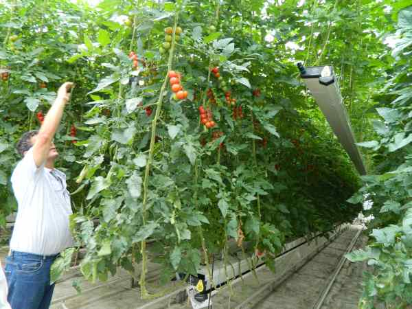 Double cropping greenhouse tomatoes?  Young tomatoes are started and lifted up high in the greenhouse.  When the older plants are at the end of their useful life, they are removed, replanted and lifted up while the new crop is lowered.   Result is a 25% increase in yield.