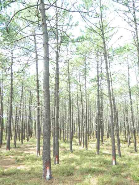 Coastal forests harvested for pine sap.